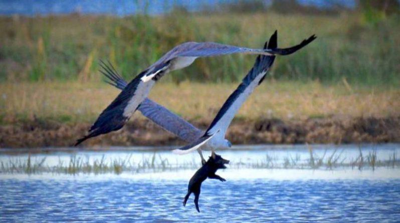 Досуг: Фотограф снял удивительный момент, когда пара орланов уносила редкую добычу – поросенка
